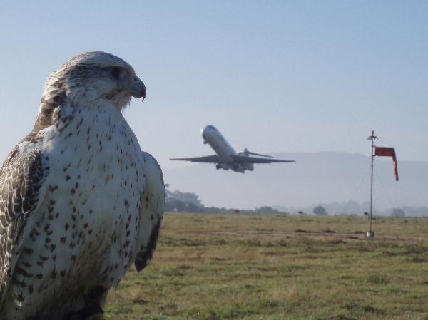 Servicio de control de aves en un aeropuerto