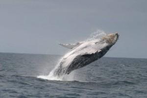 Ecuador: Una experiencia inolvidable con las ballenas jorobadas.