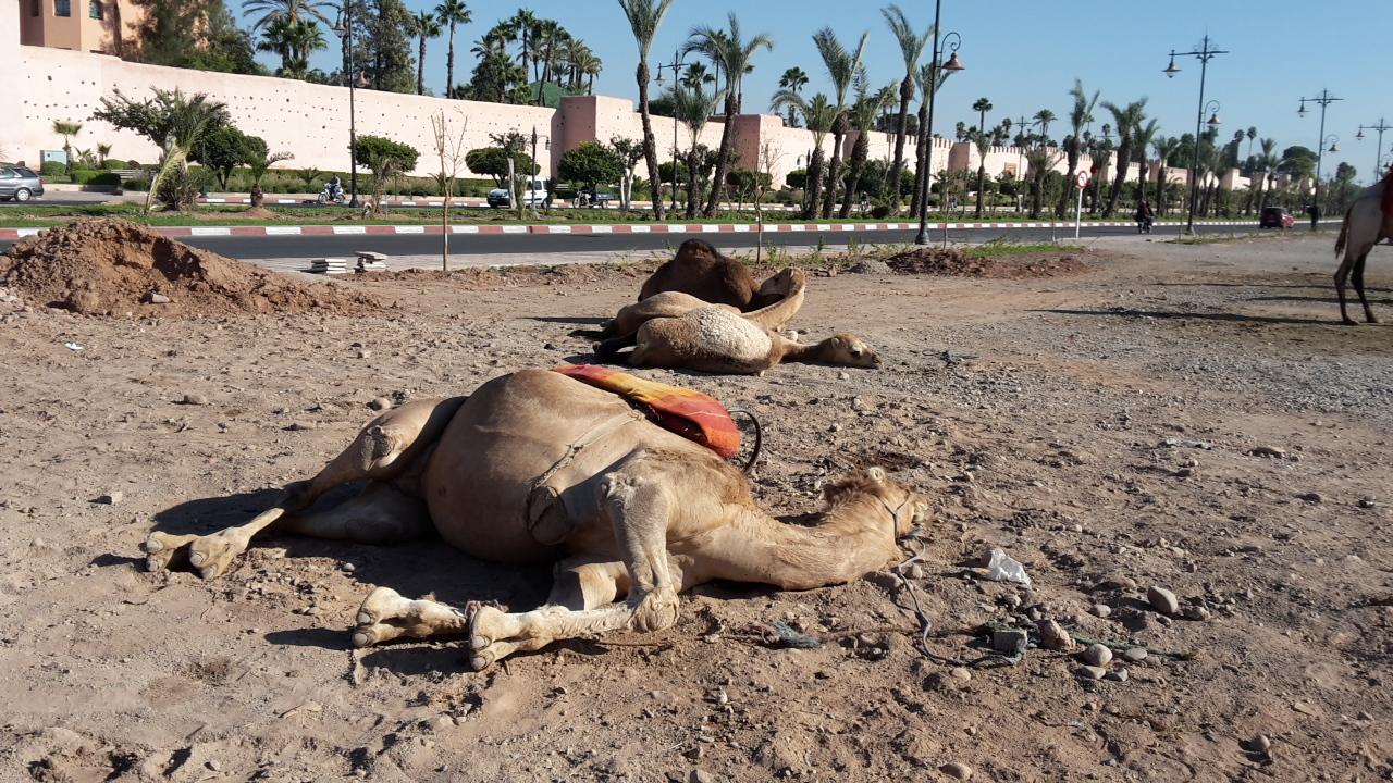 Camellos durmiendo a las puertas de la Medina