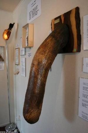 Islandia: El museo de penes.