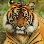 India:Objetivo, salvar al tigre